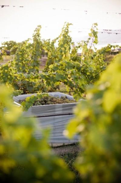 Summerhill Pyramid Winery's vineyard