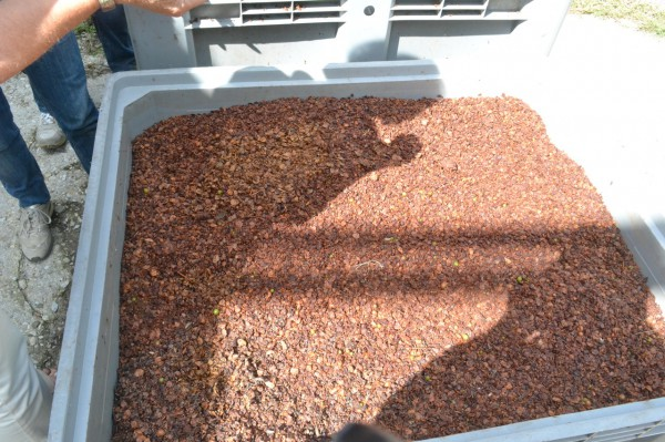 Tamburini grape skins which are kept and later distributed throughout the vineyard