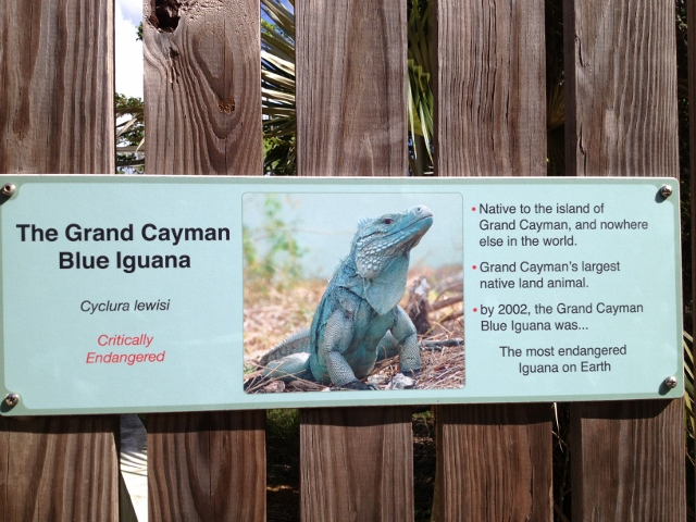Blue iguana - RBuchanan photo