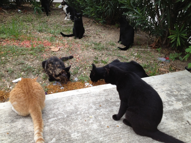 Feeding Cayman cats - RBuchanan photo