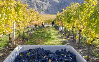 Grape Harvest Photo Credit Burrowing Owl