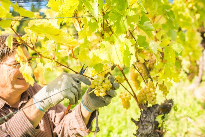 2016 BC Grape Harvest Promising  All over BC, early harvest offers strong potential