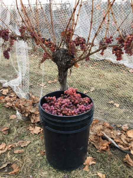 St Hubertus Winery bucket of grapes  from BC Wine Institute