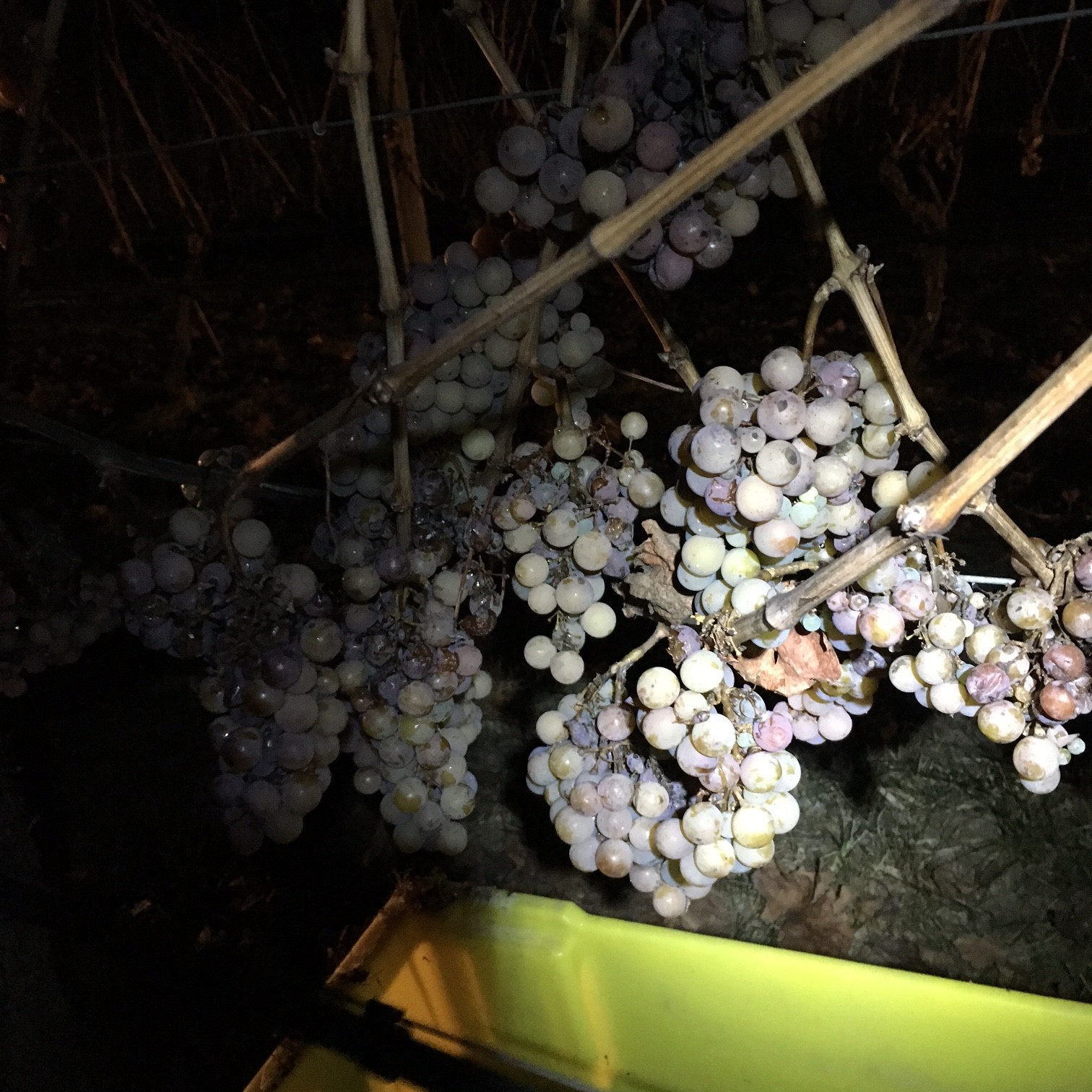 Freezing temperatures bring early start to BC's Icewine harvest