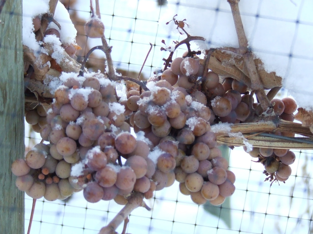 Freezing Temperatures Bring Icewine Harvest to BC Wineries