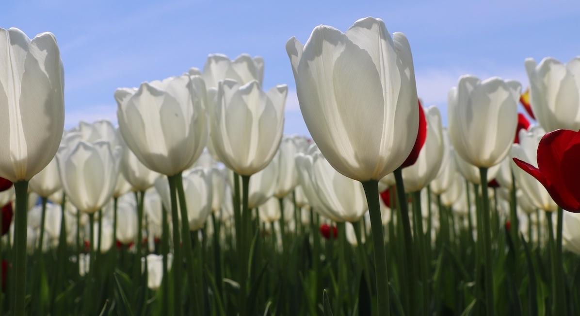 10,000 Live Tulips Bloom at Metropolis at Metrotown, January 26