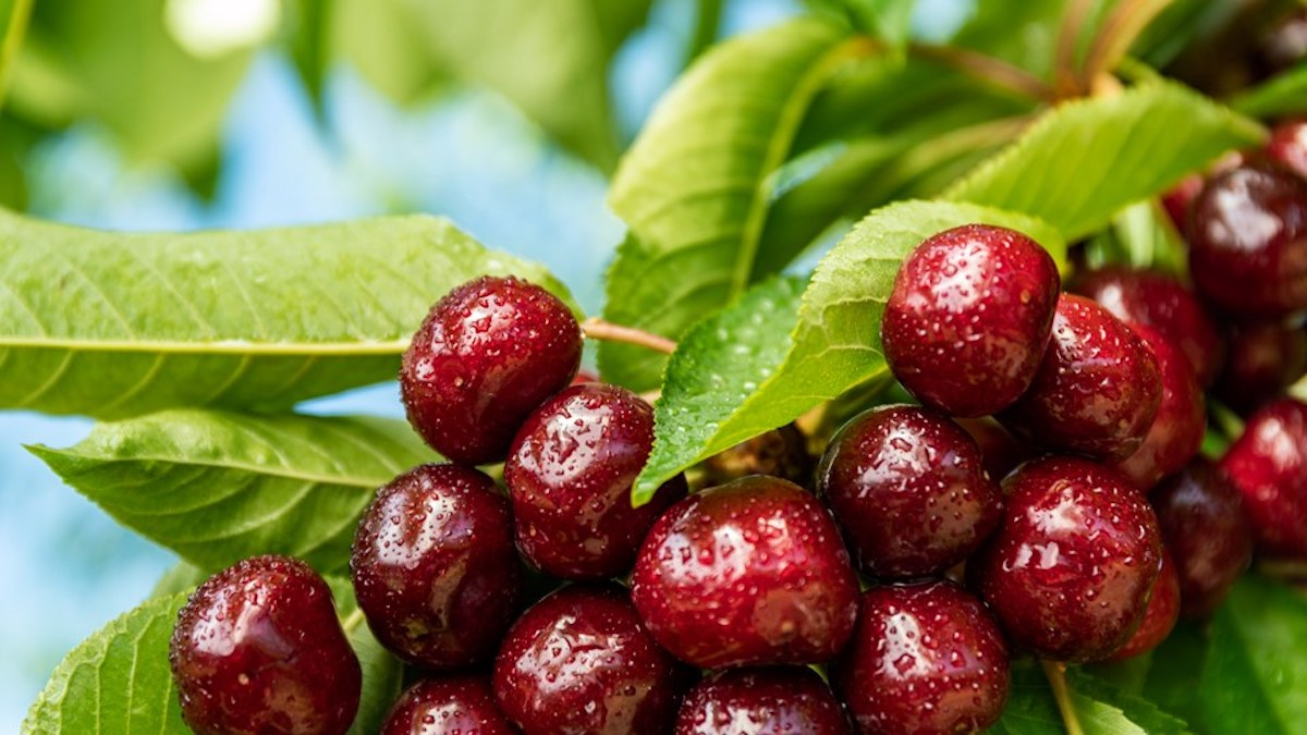 BC TREE FRUITS LAUNCHES CANADIAN SUMMER STAPLES CONTEST