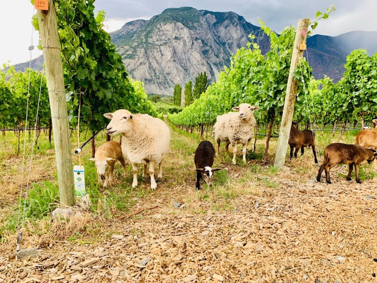 Summer update from Corcelettes- Sheep, vineyards, and dinner events!