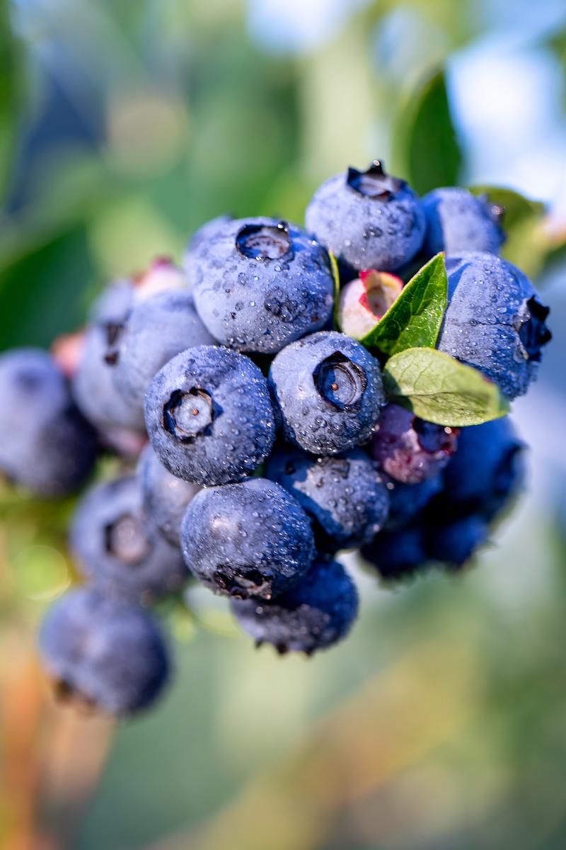 BC Blueberry Day Kicks off Go Blue BC   My VanCity